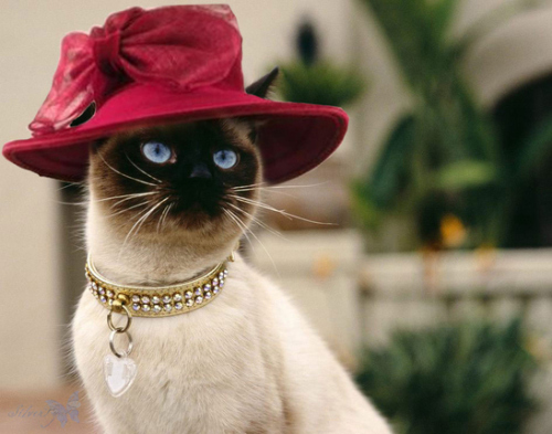 red-hat-siamese-cat_large.jpg